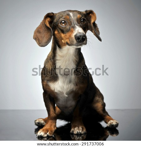 funny small mixed breed dog with flying ears sitting in gray studio - stock photo