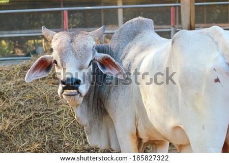 Funny cow smiling - photo#23