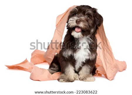 Funny smiling dark chocolate havanese puppy dog is playing with peach toilet paper, looking up, isolated on white background - stock photo