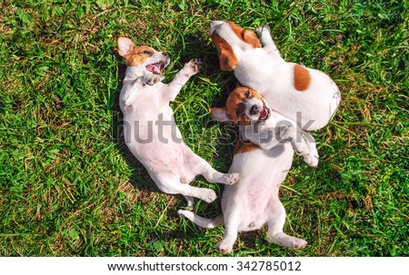 Funny smiling puppies playing outdoors on a green summer meadow. Happy pets enjoying their life. Small cute dogs background with space for your text or design - stock photo