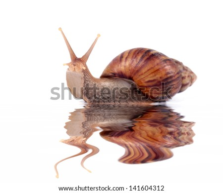 funny snail with reflection in water - stock photo