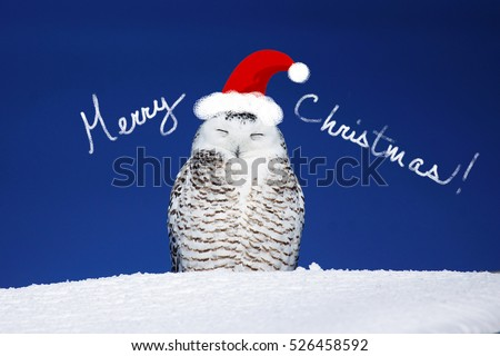 Funny snowy owl with hat, Christmas card