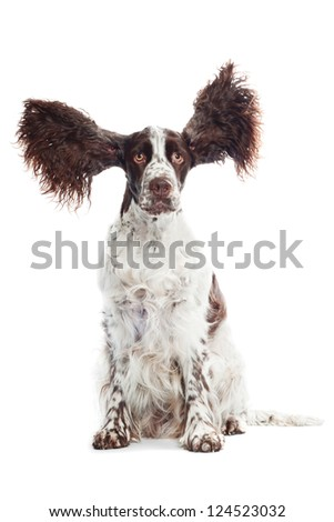 funny springer spaniel dog with flying ears - stock photo