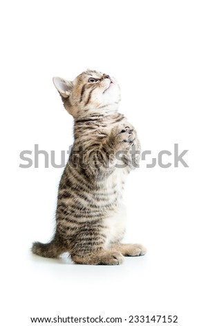 funny standing playful cat kitten isolated on white - stock photo
