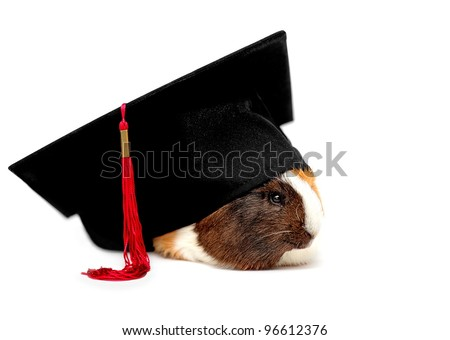 Funny student of veterinary medicine, guinea pig - stock photo