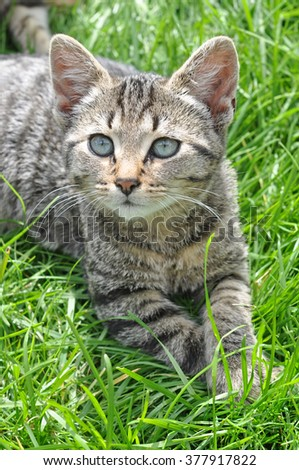 funny Tabby cat with blue eyes lying on green grass - stock photo