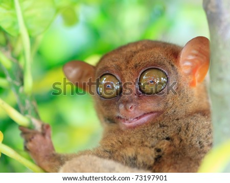 Funny tarsier on the tree branch. Bohol. Phillipines - stock photo