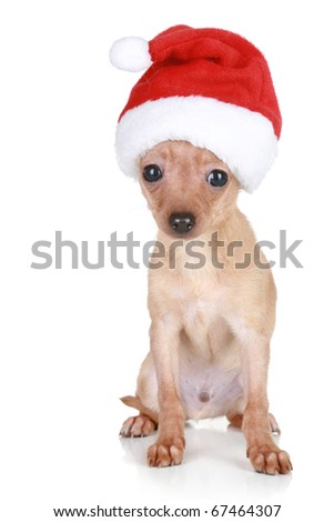 Funny Toy Terrier in Christmas red cap sits on a white background