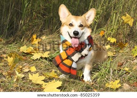 Funny welsh Corgi Pembroke sitting in autumn leaves - stock photo