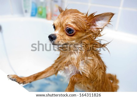 funny wet chihuahua dog in bathroom  - stock photo