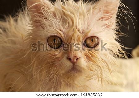 Funny wet kitten - stock photo