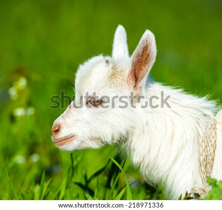 Funny white baby of goat on the green grass
