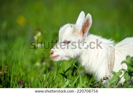 Funny white baby of goat on the green grass - stock photo
