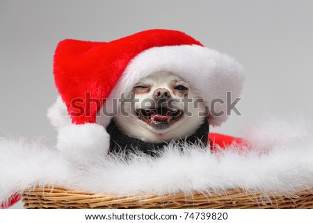 funny white chihuahua wearing santa hat and smiling - stock photo