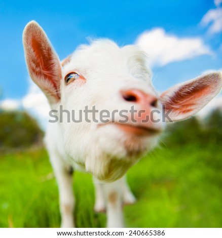 Funny white goat, close up