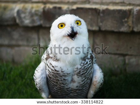 funny white owl - stock photo