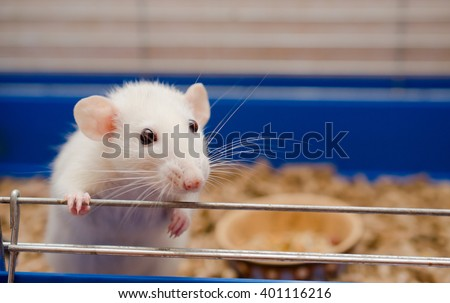 Funny white rat in a cage (selective focus on the rat eyes) - stock photo