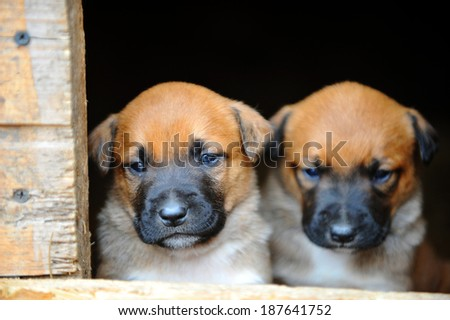 Funny young puppies belgian shepherd malinois  in  dog house