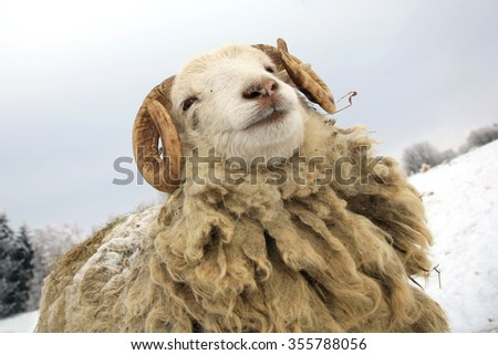 Funny young ram. Skudde sheep on winter farm. - stock photo