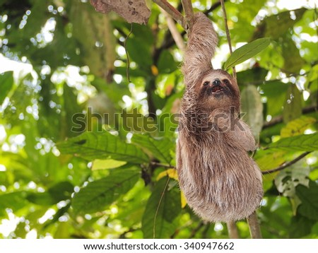 Funny young sloth hanging from a branch in the jungle of Central America, Panama - stock photo