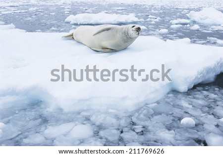 Fur Seal lying on ice flow - stock photo