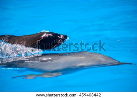 Fur seal rides the bottlenose dolphin