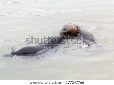 Fur seal (sea lions) rookery on the beach near the fishing port in Valparaiso - Chile - stock photo