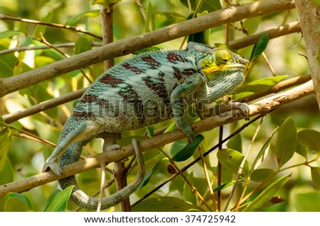 Furcifer pardalis: A Panther Chameleon feeling aggressed - stock photo