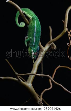 Furcifer pardalis. White, green and yellow chameleon isolated on black background. Nosy Mitsio.  - stock photo
