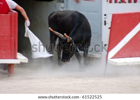 Furious Camargue-bull in the arena - stock photo