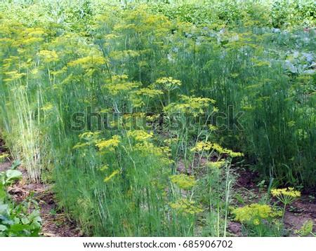 Furrows Dill Growing Vegetable Garden Concept Stock Photo (Royalty ...