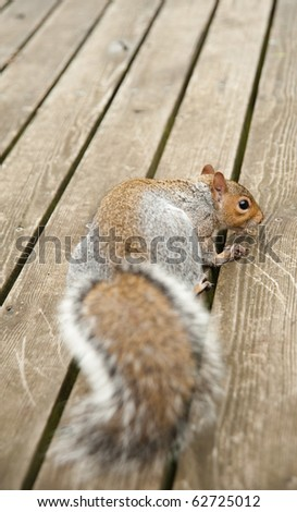 Furry Cute Squirrel Eating Nut on Deck - stock photo
