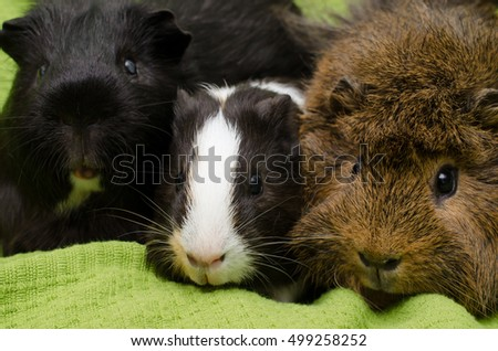 furry friends (two adults and baby guinea pig)