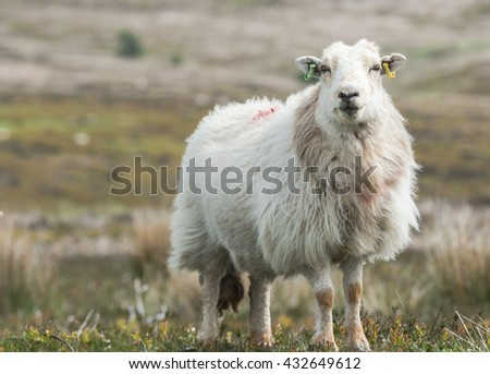 Furry Sheep Among Hilly Welsh Landscape Close Up