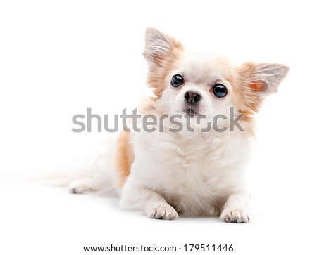 furry white with red  Chihuahua dog lying down on white background  - stock photo