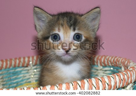 Fuzzy Fluffy Calico and black 4 week old kitten sitting in a multicolored spring basket looking straight ahead.  - stock photo