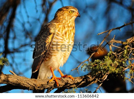 Gabar goshawk Gabar Goshawk - stock photo