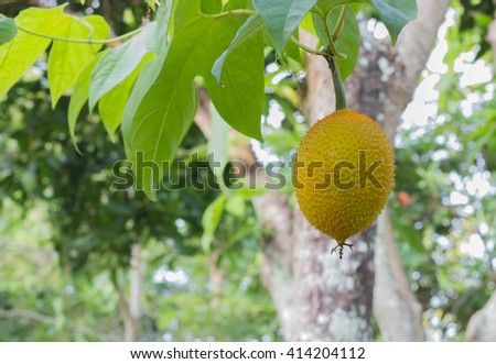Gac fruit, Baby Jackfruit, Spiny Bitter Gourd, Sweet Grourd or Cochinchin Gourd on plant