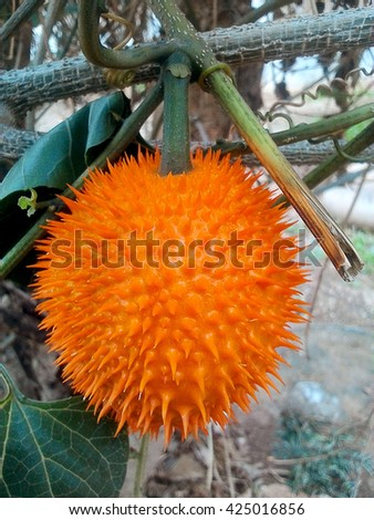Gac fruit (Momordica cochinchinensis) typical of orange-colored plant foods in asia. Gac fruit contains carotenoids such as beta-carotene. - stock photo