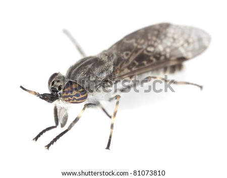 Gadfly isolated on white background, extreme close up with high magnification, focus on eyes