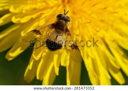 Gadfly on the yellow dandelion. - stock photo