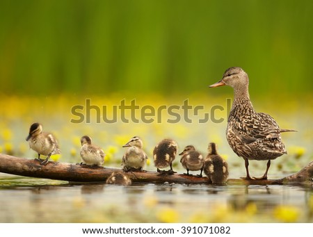 Gadwall duck, Anas strepera. Female with group of chicks standing in row on old trunk in yellow flowering water, against blurred yellow flowers and green reeds in background.Spring, Europe, Hungary.   - stock photo