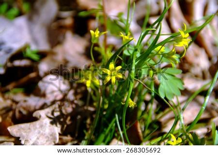 Gagea flower forest - stock photo