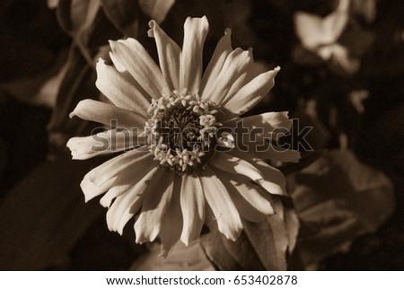 Gaillardia, Blanket Flower in black and white