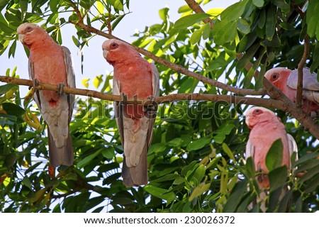 Galah Cockatoos - Cacatua roseicapilla, Kakadu National Park, Northern territory, Australia - stock photo