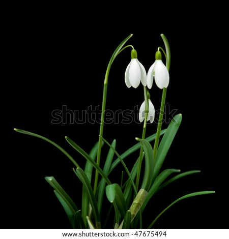 Galanthus nivalis; common snowdrop; isolated on black