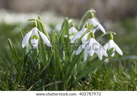 Galanthus nivalis - Snowdrop, Common Snowdrop - stock photo
