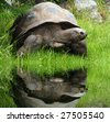 Galapagos (giant) tortoise (Geochelone nigra) in Zoo Prague - Czech Republic - Europe - stock photo