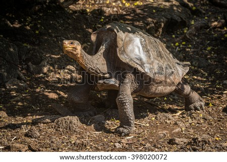 Galapagos giant tortoise with lifted head