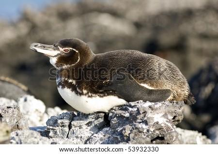 Galapagos Island Penguin resting on the rocks.  Isabella Island - stock photo